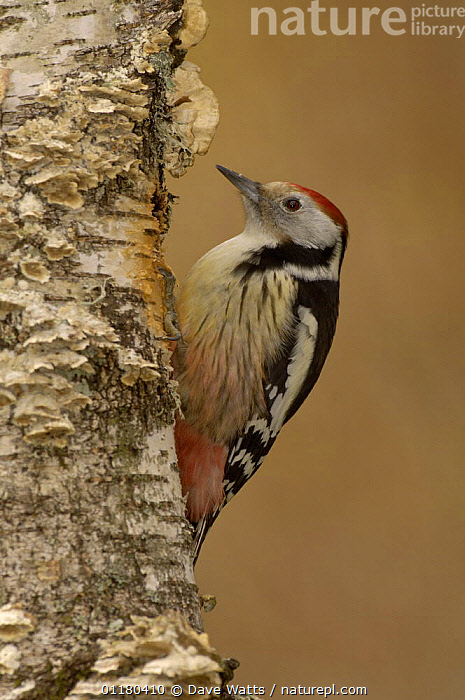 Middle Spotted Woodpecker {Dendrocopus medius} France  ,  BIRDS,EUROPE,FRANCE,VERTEBRATES,VERTICAL,WOODPECKERS  ,  Dave Watts