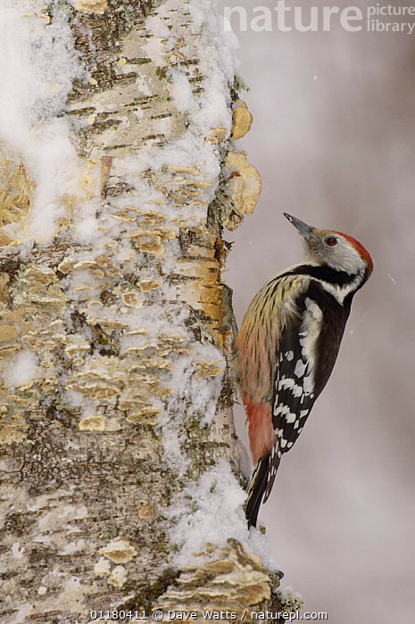 Middle Spotted Woodpecker {Dendrocopus medius} in snow, France, BIRDS,EUROPE,FRANCE,VERTEBRATES,VERTICAL,WINTER,WOODPECKERS, Dave Watts