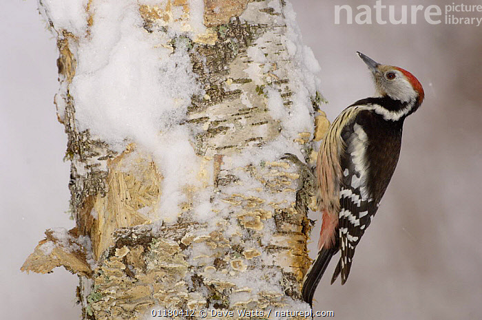 Middle Spotted Woodpecker {Dendrocopus medius} in snow, France, BIRDS,EUROPE,FRANCE,VERTEBRATES,WINTER,WOODPECKERS, Dave Watts