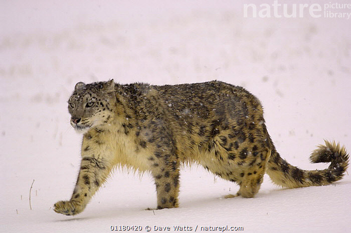 Snow Leopard {Panthera uncia} walking in snow, Captive, BIG CATS,CARNIVORES,ENDANGERED,LEOPARDS,MAMMALS,WEATHER, Dave Watts
