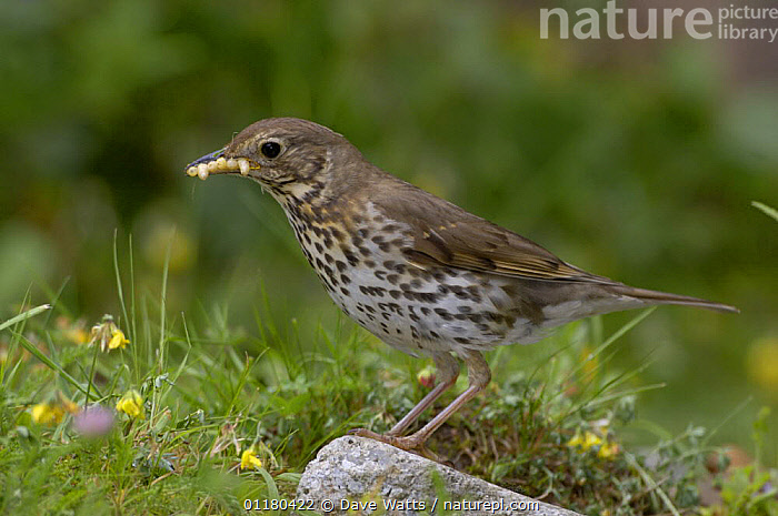 Song Thrush {Turdus philomelos} with food for chicks, UK, BEHAVIOUR,BIRDS,EUROPE,FEEDING,THRUSHES,UK,VERTEBRATES,United Kingdom,British, Dave Watts