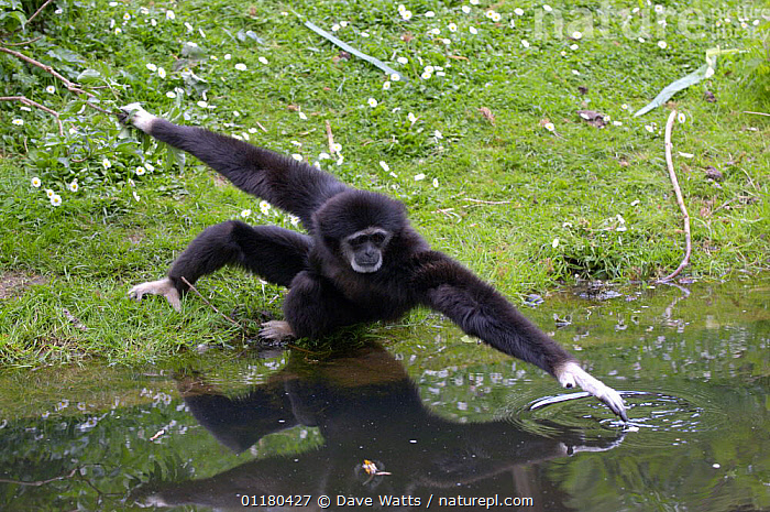 White-handed Gibbon {Hylobates lar} reaching over water, Captive, GIBBONS,GREAT APES,MAMMALS,PRIMATES,VERTEBRATES,Apes, Dave Watts