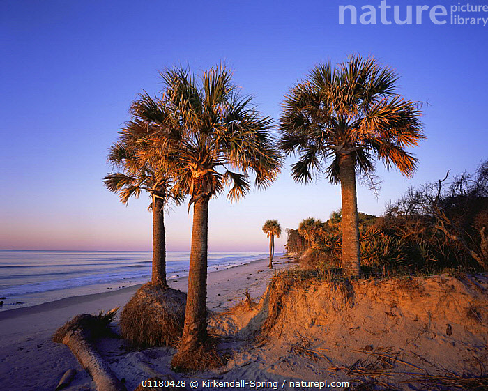 Cabbage Palmetto Trees {Sabal palmetto} on the beach at sunset, Hunting Island State Park, South Carolina, USA, ATLANTIC,BEACHES,COASTS,DUSK,LANDSCAPES,NORTH AMERICA,NORTH AMERICA,PLANTS,RESERVE,SUNSET,TREES,USA,WATER, Kirkendall-Spring