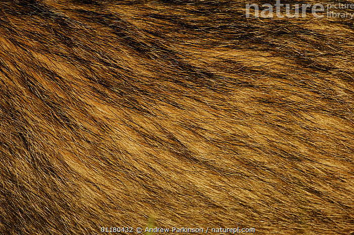 Close up of the hair on the side of an adult Badger {Meles meles}, Derbyshire, UK, BADGERS,CARNIVORES,CLOSE UPS,EUROPE,FUR,HAIR,MAMMALS,MUSTELIDS,UK,VERTEBRATES,United Kingdom,British, Andrew Parkinson