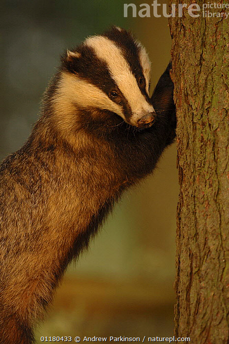 Adult Badger {Meles meles} scratching pine tree in evening light, Derbyshire, UK  ,  BADGERS,BEHAVIOUR,CARNIVORES,EUROPE,MAMMALS,MUSTELIDS,SCRATCHING,TREES,UK,VERTEBRATES,VERTICAL,United Kingdom,Plants,British  ,  Andrew Parkinson