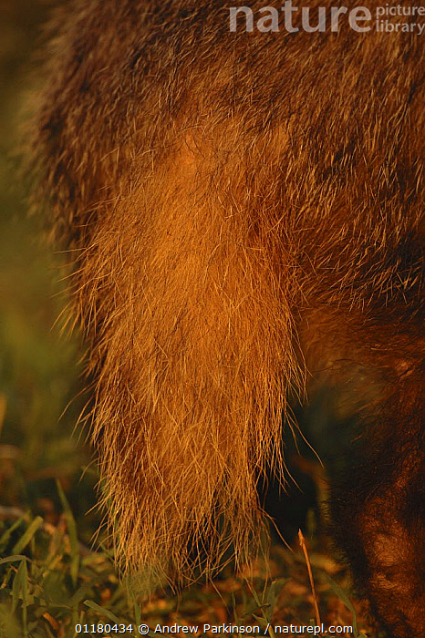 Badger {Meles meles} close up of an adult tail in evening light, Derbyshire, UK, BADGERS,CARNIVORES,EUROPE,FUR,MAMMALS,MUSTELIDS,TAILS,UK,VERTEBRATES,VERTICAL,United Kingdom,British, Andrew Parkinson