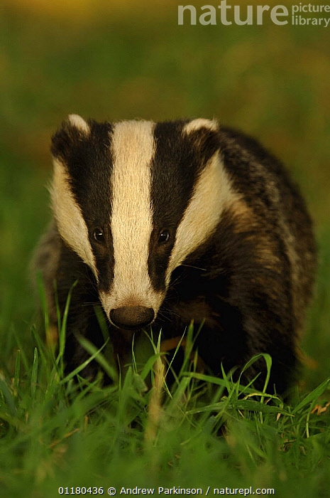 Young adult Badger {Meles meles} in evening light, Derbyshire, UK, BADGERS,CARNIVORES,EUROPE,MAMMALS,MUSTELIDS,PORTRAITS,UK,VERTEBRATES,VERTICAL,United Kingdom,British, Andrew Parkinson