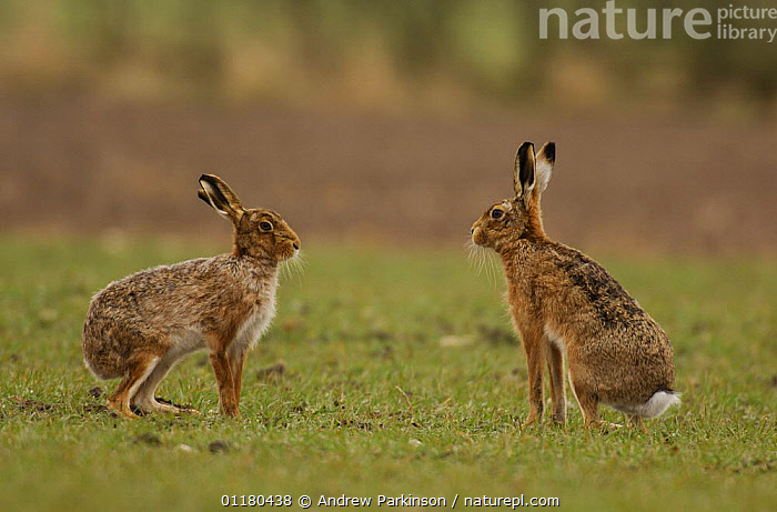 A male and female Brown / European hare {Lepus europaeus} pause after boxing, Derbyshire, UK, BEHAVIOUR,BROWN HARE,EUROPE,FARMLAND,HARES,LAGOMORPHS,MAMMALS,UK,VERTEBRATES,United Kingdom,British, Andrew Parkinson