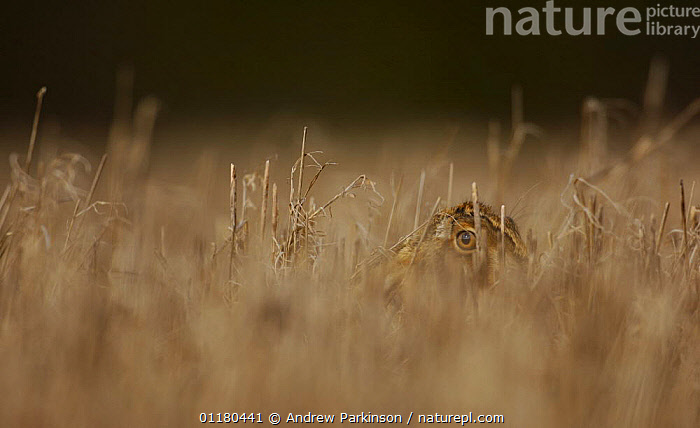 Adult Brown / European hare {Lepus europaeus} partially concealed in a field of corn stubble, Derbyshire, UK, BROWN HARE,CAMOUFLAGE,EUROPE,HARES,HEADS,LAGOMORPHS,MAMMALS,UK,VERTEBRATES,United Kingdom,British, Andrew Parkinson