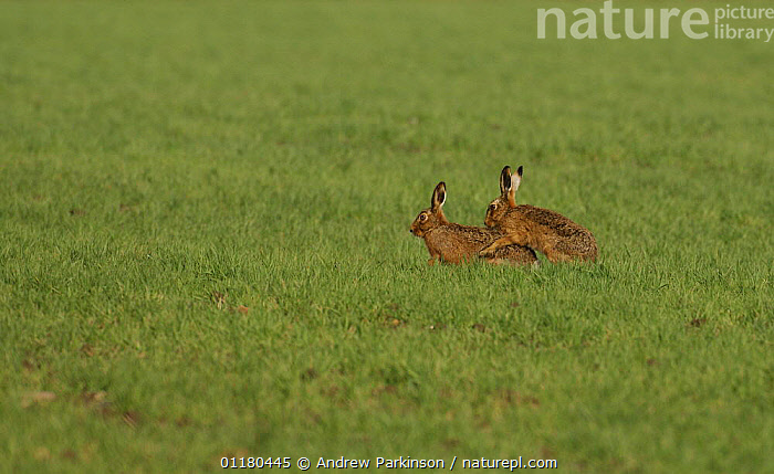 Male and female Brown / European hare {Lepus europaeus} mating, Derbyshire, UK  ,  BEHAVIOUR,BROWN HARE,COPULATION,EUROPE,HARES,LAGOMORPHS,MAMMALS,UK,VERTEBRATES,United Kingdom,Reproduction,British  ,  Andrew Parkinson