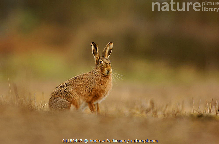 Male Brown / European hare {Lepus europaeus} pauses in a field during a brief rain shower, Derbyshire, UK, BROWN HARE,EUROPE,HARES,LAGOMORPHS,MAMMALS,UK,VERTEBRATES,United Kingdom,British, Andrew Parkinson