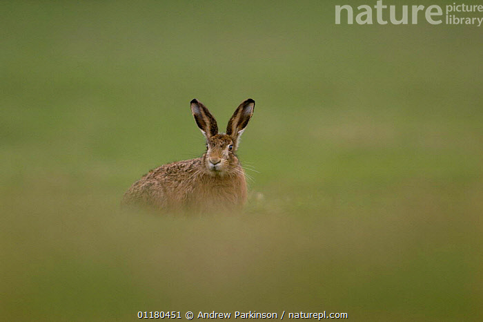 Adult Brown / European hair {Lepus europaeus}