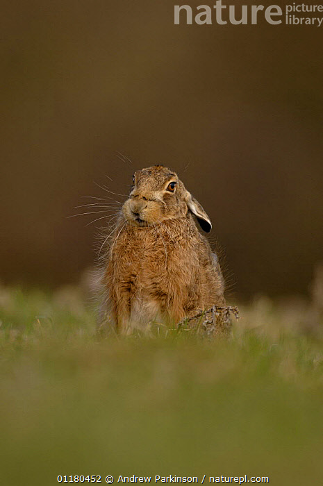 Adult Brown / European hare {Lepus europaeus} sitting in a field, Derbyshire, UK, BROWN HARE,EUROPE,HARES,LAGOMORPHS,MAMMALS,PORTRAITS,UK,VERTEBRATES,VERTICAL,United Kingdom,British, Andrew Parkinson