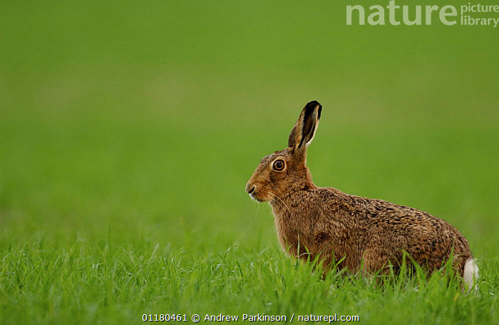 Adult Brown / European hare {Lepus europaeus} sitting alert in a field of newly planted crops, Derbyshire, UK, BROWN HARE,EUROPE,HARES,LAGOMORPHS,MAMMALS,PROFILE,UK,VERTEBRATES,United Kingdom,British, Andrew Parkinson