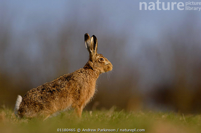 Adult Brown / European hare {Lepus europaeus} sitting upright in a field, Derbyshire, UK  ,  BROWN HARE,EUROPE,HARES,LAGOMORPHS,MAMMALS,PORTRAITS,PROFILE,UK,VERTEBRATES,United Kingdom,British  ,  Andrew Parkinson