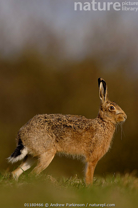 Adult Brown / European hare {Lepus europaeus} standing in a field, Derbyshire, UK, BROWN HARE,EUROPE,HARES,LAGOMORPHS,MAMMALS,PORTRAITS,PROFILE,UK,VERTEBRATES,VERTICAL,United Kingdom,British, Andrew Parkinson
