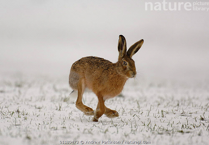Adult Brown / European hare {Lepus europaeus} running over a snow covered field, Derbyshire, UK, BROWN HARE,EUROPE,HARES,LAGOMORPHS,MAMMALS,RUNNING,SNOW,UK,VERTEBRATES,WINTER,United Kingdom,British, Andrew Parkinson