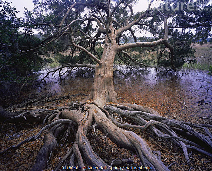 Cedar Tree {Cedrus sp} with exposed roots growing next to a marsh, Skidaway Island State Park, Georgia, USA, BRANCHES,CEDARS,LANDSCAPES,MARSHES,NORTH AMERICA,NORTH AMERICA,RESERVE,ROOTS,TREES,TRUNKS,USA,WATER,Wetlands,Plants, Kirkendall-Spring