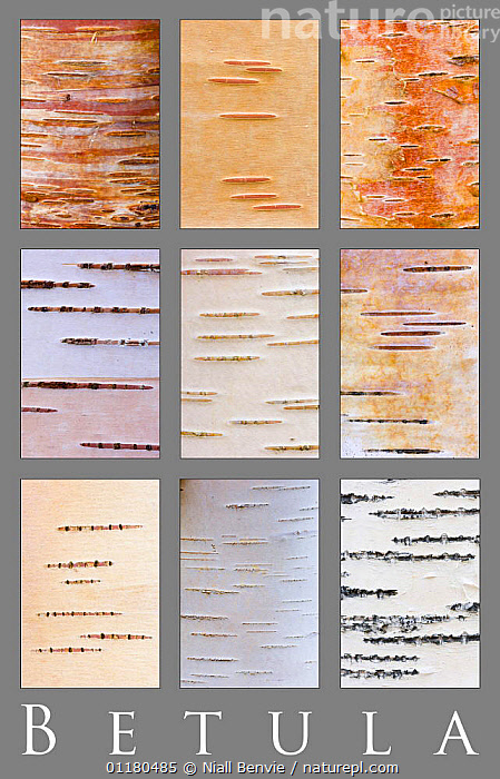 Poster study of different colours and patterns of Birch tree{Betula} bark, Scotland, UK, ABSTRACTS,ARTY SHOTS,BARK,BETULACEAE,DICOTYLEDONS,EUROPE,PATTERNS,PLANTS,TREES,UK,United Kingdom,British, Niall Benvie