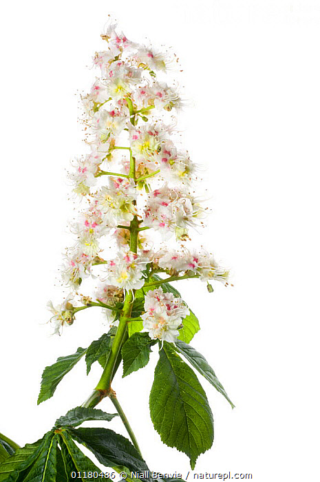 Horse chestnut flowers and leaves {Aesculus hippocastanum} UK, CUTOUT,DICOTYLEDONS,FLOWERS,HIPPOCASTANACEAE,PLANTS,TREES,VERTICAL,Equines, Niall Benvie