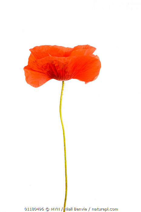 Common poppy {Papaver rhoeas} UK meetyourneighbours.net project, CUTOUT,DICOTYLEDONS,EUROPE,FLOWERS,MYN,PAPAVERACEAE,PLANTS,RED,UK,VERTICAL,white background,United Kingdom , Meet Your Neighbours, MYN / Niall Benvie