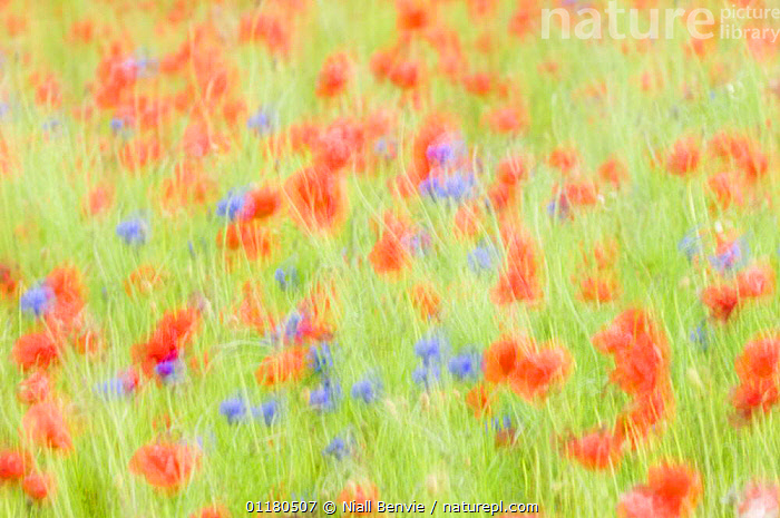 Abstract impression of Common poppies {Papaver sp.} and Cornflowers {Centaurea sp.} UK, June, ABSTRACTS,BLUR,COLOURFUL,DICOTYLEDONS,FARMLAND,FIELD,FLOWERS,PAPAVERACEAE,PLANTS , blurred, Niall Benvie