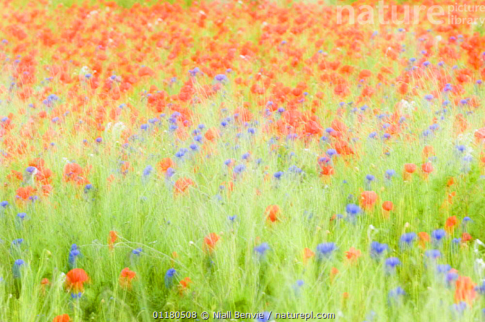 Abstract impression of Common poppies {Papaver sp.} and Cornflowers {Centaurea sp.}, UK, June, ABSTRACTS,ASTERACEAE,COLOURFUL,COMPOSITAE,DICOTYLEDONS,EUROPE,FLOWERS,PLANTS,UK,United Kingdom,British, Niall Benvie