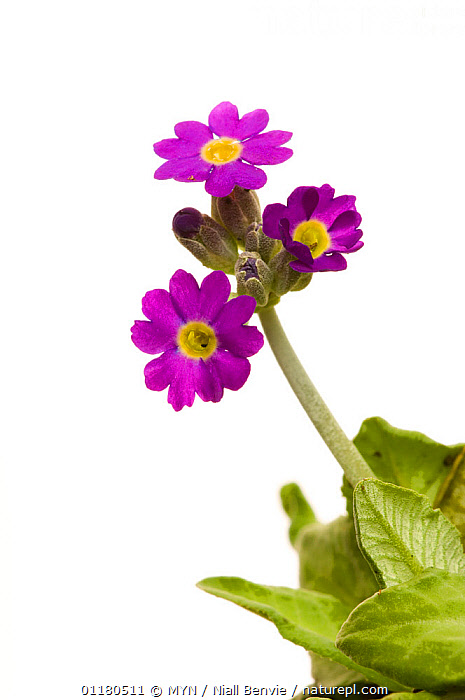 Scottish primrose {Primula scotica} Scotland, UK, June meetyourneighbours.net project, CUTOUT,DICOTYLEDONS,FLOWERS,MYN,PLANTS,PRIMULACEAE,PURPLE,SCOTLAND,VERTICAL,white background,Europe,UK,United Kingdom , Meet Your Neighbours, MYN / Niall Benvie