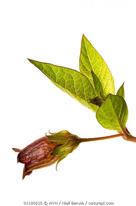 Deadly nightshade {Atropa belladona} flower and leaves, Scotland, UK, June meetyourneighbours.net project, CUTOUT,DICOTYLEDONS,MYN,PLANTS,POISONOUS,SCOTLAND,SOLANACEAE,VERTICAL,white background,Europe,UK,United Kingdom , Meet Your Neighbours, MYN / Niall Benvie
