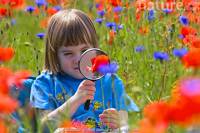 Young girl looking at Common poppy {Papaver rhoeas} through magnifying glass, Scotland, UK, June, CHILDHOOD,CHILDREN,CORNFLOWER,DICOTYLEDONS,FIELDS,FLOWERS,GRASSLAND,LEARNING,NATURE,OUTDOORS,PAPAVERACEAE,PEOPLE,PLANTS,REWILDING,STUDY,SUMMER,WILDFLOWER,Europe,United Kingdom,British, Niall Benvie