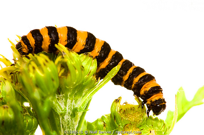 Cinnabar moth caterpillar {Tyria jacobaeae} on Ragwort, UK, July, CUTOUT, EUROPE, INSECTS, INVERTEBRATES, LEPIDOPTERA, MOTHS, NOCTUID-MOTHS, ragwort, UK,United Kingdom, Niall Benvie