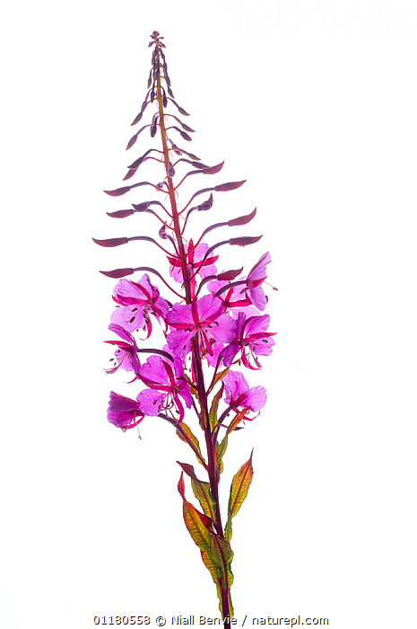 Rosebay willowherb {Chamerion angustifolium angustifolium}  flower, Scotland, UK, July, CUTOUT, DICOTYLEDONS, fireweed, FLOWERS, ONAGRACEAE, PINK, PLANTS, PURPLE, rosebay, SCOTLAND, VERTICAL,Europe,UK,United Kingdom, Niall Benvie