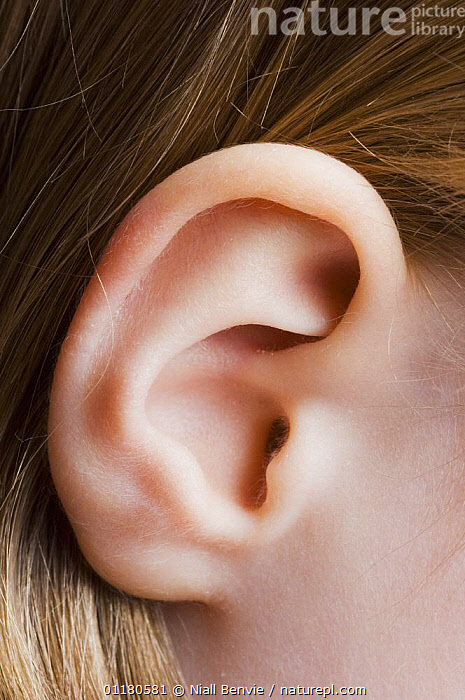 Close-up of girl�s ear, Scotland, UK, CHILD,EARS,EUROPE,HAIR,PEOPLE,PRIMATES,SCOTLAND,VERTEBRATES,VERTICAL,Mammals, Niall Benvie