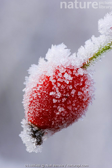 Dog rose hip {Rosa canina} covered in frost, Angus, Scotland, UK, DICOTYLEDONS,EUROPE,FROST,FRUIT,PLANTS,ROSACEAE,SCOTLAND,VERTICAL,Weather, Niall Benvie