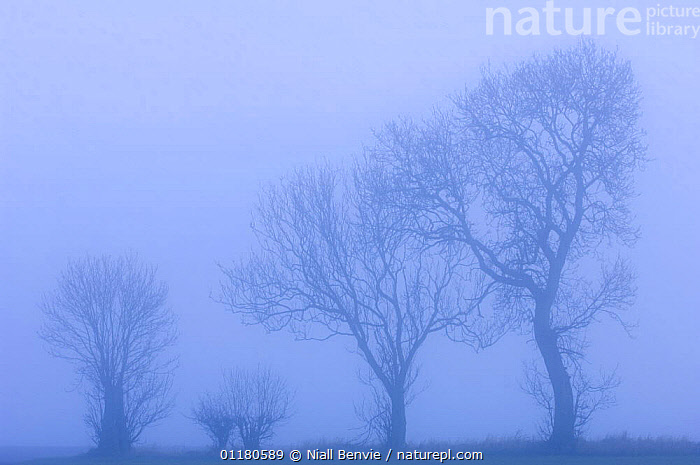 Ash trees {Fraxinus excelsior} silhouetted in hedgerow in morning fog, Scotland, UK, ARISTOLOCHIACEAE,DICOTYLEDONS,EUROPE,FIVE,LANDSCAPES,MIST,PLANTS,SCOTLAND,SILHOUETTES,TREES,WINTER, Niall Benvie