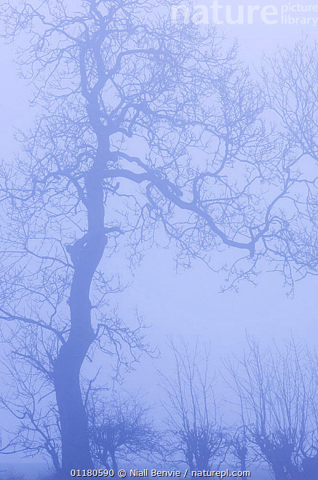 Hedgerow with Ash tree {Fraxinus excelsior} silhouetted in morning fog, Scotland, UK, ARISTOLOCHIACEAE,DICOTYLEDONS,EUROPE,MIST,PLANTS,SCOTLAND,SILHOUETTES,TREES,WINTER, Niall Benvie