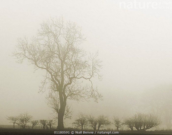 Hedgerow with ash tree {Fraxinus excelsior} silhouetted in morning fog, Scotland, UK  ,  ARISTOLOCHIACEAE,DICOTYLEDONS,EUROPE,LANDSCAPES,MIST,PLANTS,SCOTLAND,SILHOUETTES,TREES,WINTER  ,  Niall Benvie