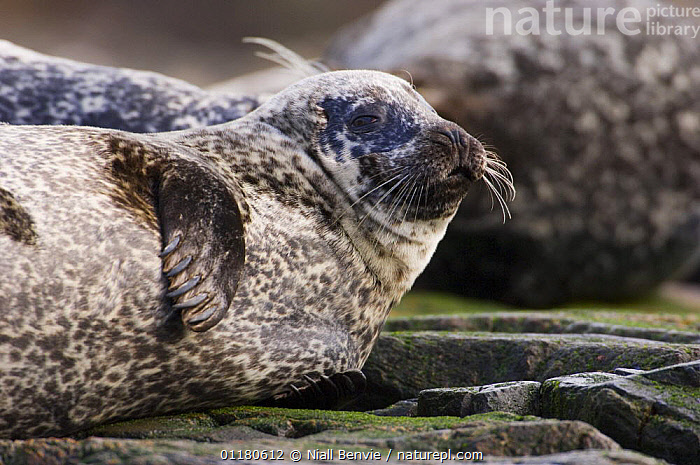 Common / Harbor seal {Phoca vitulina} at haul-out site, Islay, Argyll, Scotland, UK February, ATLANTIC,CARNIVORES,EUROPE,HARBOUR SEAL,MAMMALS,MARINE,PINNIPEDS,SCOTLAND,SEALS,VERTEBRATES , Inner Hebrides,UK,United Kingdom, Niall Benvie