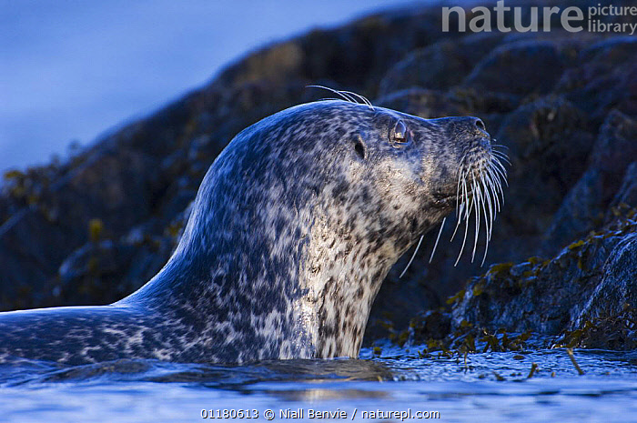 Common seal {Phoca vitulina} coming out of sea at haul out site, Islay, Argyll, Scotland, UK. February, ATLANTIC,CARNIVORES,COASTAL WATERS,EUROPE,HARBOR SEAL,HARBOUR SEAL,MAMMALS,MARINE,PINNIPEDS,SCOTLAND,SEALS,SWIMMING,VERTEBRATES, CARNIVORES , CARNIVORES , CARNIVORES ,Catalogue1,UK,United Kingdom , Inner Hebrides, Niall Benvie