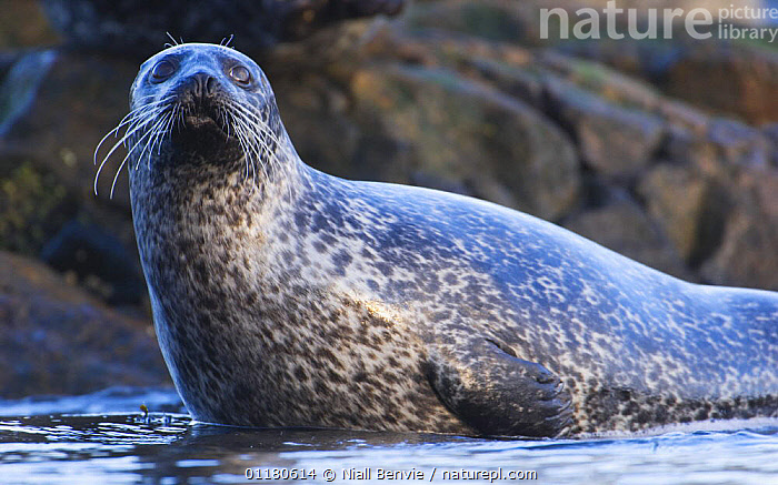Common seal {Phoca vitulina} climbing out of the sea at haul out site, Islay, Argyll, Scotland, UK, CARNIVORES,COASTAL WATERS,EUROPE,HARBOR SEAL,HARBOUR SEAL,MAMMALS,MARINE,PINNIPEDS,SCOTLAND,SEALS,SWIMMING,VERTEBRATES , Inner Hebrides,UK,United Kingdom, Niall Benvie