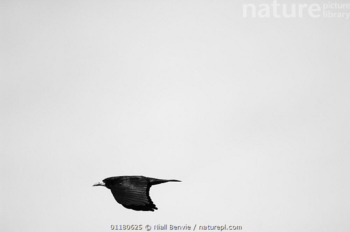 Rook {Corvus frugilegus} in flight, Angus, Scotland, UK, BIRDS,CORVIDS,CROWS,CUTOUT,EUROPE,FLYING,SCOTLAND,VERTEBRATES, Niall Benvie