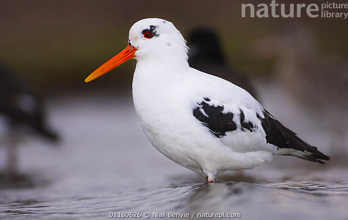 Partially leucistic Oystercatcher {Haematopus ostralegus}, Angus, Scotland, UK, BIRDS,COLOUR,EUROPE,OYSTERCATCHERS,PIGMENTS,PORTRAITS,SCOTLAND,VERTEBRATES,WADERS, Niall Benvie