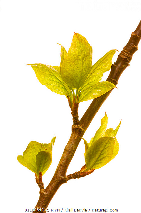 Balsam poplar {Populus gileadensis} leafing out, Angus, Scotland, UK meetyourneighbours.net project, CUTOUT,DICOTYLEDONS,EUROPE,LEAVES,MYN,PLANTS,SALICACEAE,SCOTLAND,SPRING,VERTICAL,white background,UK,United Kingdom , Meet Your Neighbours, MYN / Niall Benvie