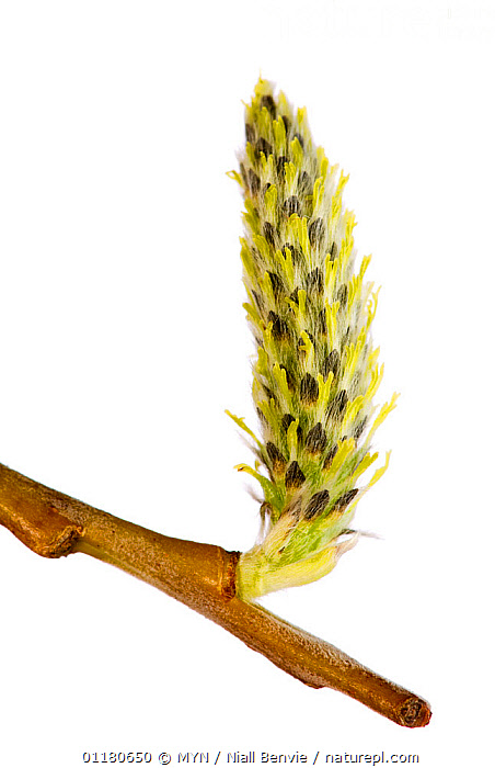 Male Crack willow catkin {Salix fragilis} Angus, Scotland , UK meetyourneighbours.net project  ,  CUTOUT,DICOTYLEDONS,EUROPE,FLOWERS,MYN,PLANTS,SALICACEAE,SCOTLAND,SPRING,VERTICAL,white background,UK,United Kingdom , Meet Your Neighbours  ,  MYN / Niall Benvie