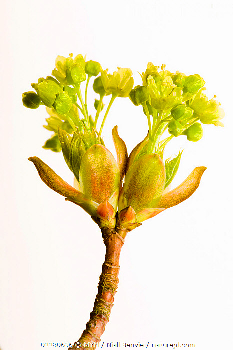 Norwegian maple tree flowers {Acer platanoides}, Angus, Scotland, UK meetyourneighbours.net project, ACERACEAE,CUTOUT,DICOTYLEDONS,EUROPE,FLOWERS,MYN,PLANTS,SCOTLAND,SPRING,VERTICAL,white background,UK,United Kingdom , Meet Your Neighbours, MYN / Niall Benvie