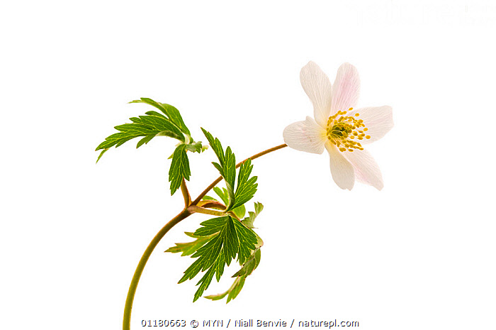 Wood anemone flower {Anemone nemorsa}, Angus, Scotland, UK meetyourneighbours.net project, CUTOUT,DICOTYLEDONS,EUROPE,FLOWERS,MYN,PLANTS,RANUNCULACEAE,SCOTLAND,SPRING,white background,UK,United Kingdom , Meet Your Neighbours, MYN / Niall Benvie