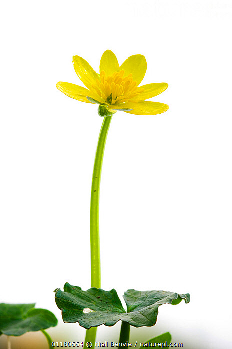 Lesser celandine flower {Ranunculus ficaria}, Angus, Scotland, UK meetyourneighbours.net project  ,  BUTTERCUP,CUTOUT,DICOTYLEDONS,EUROPE,FLOWERS,meet your neighbours,MYN,PLANTS,RANUNCULACEAE,SCOTLAND,SPRING,VERTICAL,UK,United Kingdom  ,  Niall Benvie