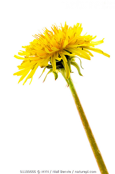 Dandelion flower {Taraxacum vulgaria}, Angus, Scotland, UK meetyourneighbours.net project, ASTERACEAE,COMPOSITAE,CUTOUT,DICOTYLEDONS,EUROPE,FLOWERS,MYN,PLANTS,SCOTLAND,SPRING,VERTICAL,white background,UK,United Kingdom , Meet Your Neighbours, MYN / Niall Benvie