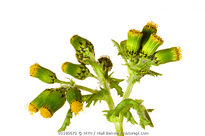 Groundsel {Senecia vulgaris}, Angus, Scotland, UK meetyourneighbours.net project, ASTERACEAE,COMPOSITAE,CUTOUT,DICOTYLEDONS,EUROPE,FLOWERS,MYN,PLANTS,SCOTLAND,SPRING,white background,UK,United Kingdom , Meet Your Neighbours, MYN / Niall Benvie