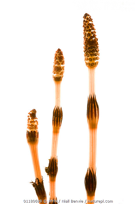 Three male Common horsetails {Equisetum arvense}, May, M�re og Romsdal, Norway,  meetyourneighbours.net project  ,  CUTOUT,EQUISETACEAE,EUROPE,HORSETAILS,MYN,NORWAY,PLANTS,PTERIDOPHYTES,SCANDINAVIA,SPRING,VERTICAL,white background , Meet Your Neighbours  ,  MYN / Niall Benvie